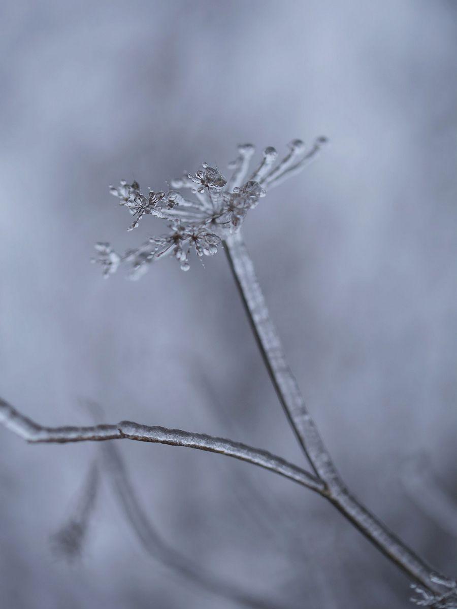 Berce glacée